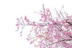 Δέντρο Sakura Στοκ εικόνα με δικαίωμα ελεύθερης χρήσης