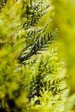 Δέντρο Thuja Στοκ Εικόνα