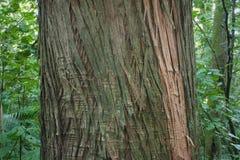 Δέντρο Totara Στοκ φωτογραφίες με δικαίωμα ελεύθερης χρήσης