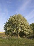 δέντρο whitebeam Στοκ εικόνα με δικαίωμα ελεύθερης χρήσης