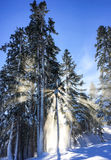 Δέντρο wile που κάνει σκι Στοκ Εικόνα