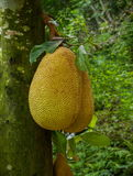 Δέντρο Xiaoganlanba Xishuangbanna jackfruit Στοκ Φωτογραφίες