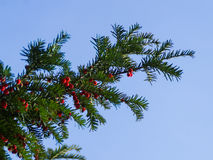 Δέντρο Yew με τα κόκκινα μούρα Στοκ εικόνες με δικαίωμα ελεύθερης χρήσης