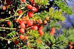 Δέντρο Yew Στοκ εικόνα με δικαίωμα ελεύθερης χρήσης
