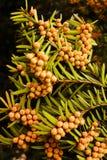 Δέντρο Yew Στοκ Φωτογραφίες