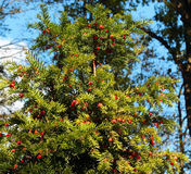 Δέντρο & x28 Yew Taxus baccata& x29  με τα κόκκινα μούρα στοκ φωτογραφίες