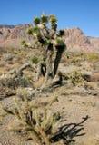 Δέντρο Yucca στα βουνά Στοκ φωτογραφίες με δικαίωμα ελεύθερης χρήσης
