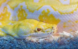 Δέρμα κινηματογραφήσεων σε πρώτο πλάνο του χρυσού python Στοκ Φωτογραφίες