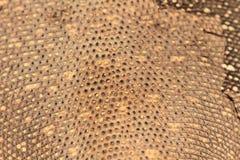 Δέρμα της σαύρας οργάνων ελέγχου της Βεγγάλης Στοκ φωτογραφία με δικαίωμα ελεύθερης χρήσης