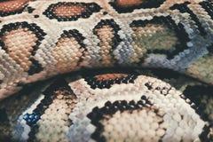 Δέρμα του βιρμανός python, bivittatus Python, κόκκινα στοιχεία Vuln καταλόγων IUCN Στοκ Φωτογραφία