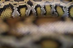 Δέρμα του βιρμανός python, bivittatus Python, κόκκινα στοιχεία Vuln καταλόγων IUCN Στοκ Φωτογραφίες