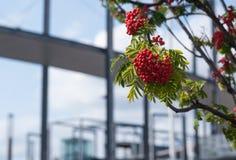 Δέσμες της κόκκινης σορβιάς Στοκ φωτογραφία με δικαίωμα ελεύθερης χρήσης
