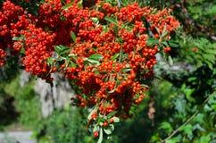 Δέσμες του κόκκινου Rowan στον ήλιο Στοκ εικόνα με δικαίωμα ελεύθερης χρήσης