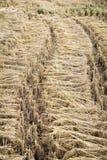 Δέσμες των αυτιών ρυζιού Στοκ Εικόνα