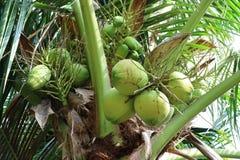 Δέσμες των βεραμάν νέων φρούτων καρύδων στο δέντρο καρύδων Στοκ Εικόνες