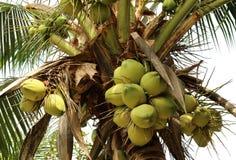 Δέσμες των νέων φρούτων καρύδων στο δέντρο καρύδων Στοκ εικόνες με δικαίωμα ελεύθερης χρήσης