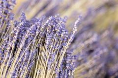 Δέσμες των ξηρών lavender κλαδίσκων λουλουδιών Σωρός του χορταριού lavandula Διακόσμηση στην υπηρεσία ανθοκόμων κατάστημα απεικόν Στοκ εικόνες με δικαίωμα ελεύθερης χρήσης