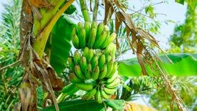 Δέσμες των πράσινων μπανανών σε έναν κήπο μπανανών Στοκ φωτογραφίες με δικαίωμα ελεύθερης χρήσης