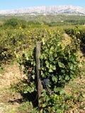 Δέσμες των σταφυλιών κρασιού στοκ εικόνες με δικαίωμα ελεύθερης χρήσης