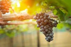 Δέσμες των σταφυλιών κόκκινου κρασιού που αυξάνονται στα ιταλικά τομείς κλείστε επάνω Στοκ εικόνα με δικαίωμα ελεύθερης χρήσης