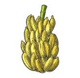 Δέσμες των φρέσκων φρούτων μπανανών απεικόνιση αποθεμάτων