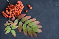 Δέσμες ώριμου ashberry Στοκ εικόνα με δικαίωμα ελεύθερης χρήσης