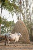 Δέσμευση κτηνοτρόφων βοοειδών Στοκ Εικόνα