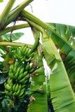 Δέσμη μπανανών ακατέργαστου στο δέντρο μπανανών Στοκ Εικόνες