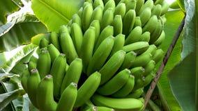 Δέσμη μπανανών στη φυτεία μπανανών απόθεμα βίντεο