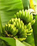 Δέσμη μπανανών στο δέντρο μπανανών Στοκ Εικόνα