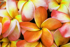 Δέσμη λουλουδιών Plumeria Στοκ φωτογραφίες με δικαίωμα ελεύθερης χρήσης
