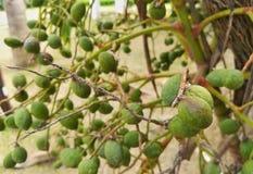 Δέσμη πράσινο και ώριμο τροπικό betel - καρύδι Στοκ εικόνες με δικαίωμα ελεύθερης χρήσης
