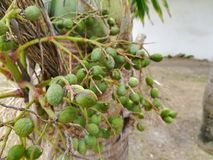 Δέσμη πράσινο και ώριμο τροπικό betel - καρύδι Στοκ φωτογραφία με δικαίωμα ελεύθερης χρήσης