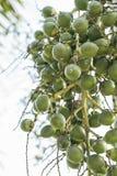 Δέσμη πράσινο Areca-nut Στοκ εικόνα με δικαίωμα ελεύθερης χρήσης