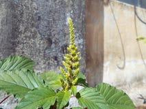 Δέσμη σπόρου Flowerless Στοκ Εικόνες
