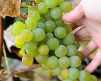 Δέσμη σταφυλιών εκμετάλλευσης χεριών, άσπρο κρασί είδους, συγκομιδή φθινοπώρου Στοκ Εικόνες