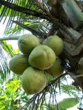 Δέσμη της καρύδας στο δέντρο στοκ εικόνα