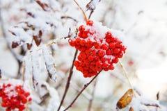 Δέσμη της κόκκινης σορβιάς Στοκ Εικόνες