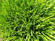 Δέσμη της πράσινης χλόης στη τοπ σύσταση θερινών τομέων Στοκ φωτογραφία με δικαίωμα ελεύθερης χρήσης