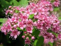 Δέσμη της ρόδινης άνθισης λουλουδιών Στοκ φωτογραφία με δικαίωμα ελεύθερης χρήσης