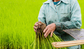 Δέσμη της Farmer του ρυζιού στο αγροτικό ρύζι Στοκ Εικόνες