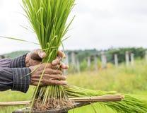 Δέσμη της Farmer του ρυζιού στο αγροτικό ρύζι Στοκ φωτογραφίες με δικαίωμα ελεύθερης χρήσης