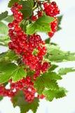Δέσμη της juicy κόκκινης σταφίδας σε έναν κλαδίσκο με τα πράσινα φύλλα Στοκ εικόνες με δικαίωμα ελεύθερης χρήσης