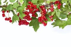 Δέσμη της juicy κόκκινης σταφίδας σε έναν κλαδίσκο με τα πράσινα φύλλα Στοκ φωτογραφία με δικαίωμα ελεύθερης χρήσης