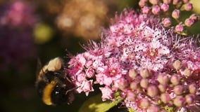 Δέσμη του σε αργή κίνηση μακρο μήκους σε πόδηα 8 bumblebee στο όμορφο ρόδινο λουλούδι φιλμ μικρού μήκους