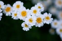 Δέσμη των άσπρων λουλουδιών Chamomile Στοκ εικόνα με δικαίωμα ελεύθερης χρήσης