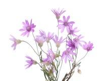 Δέσμη των ανθίζοντας φυτών Immortelle που απομονώνεται στο άσπρο υπόβαθρο Xeranthemum annuum πεδίο βάθους ρηχό Εκλεκτικό φ Στοκ Εικόνες