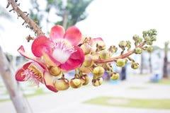 Δέσμη των ανθίζοντας Cannonball λουλουδιών. Στοκ Εικόνα