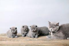 Δέσμη των γατακιών, γάτα μητέρων με τους Στοκ Εικόνες