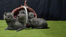 Δέσμη των γατακιών που ξεπερνούν ένα καλάθι απόθεμα βίντεο